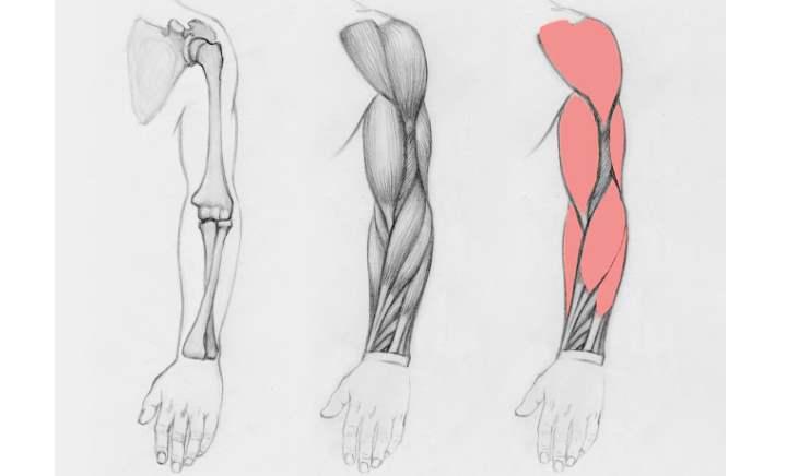 Руки человека состоят из около 60 костей