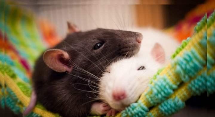 Счастливые крысы
