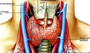 Располагается щитовидная железа на передней части шеи