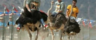 Итоги В XIX веке интерес к страусам был из-за их перьев,