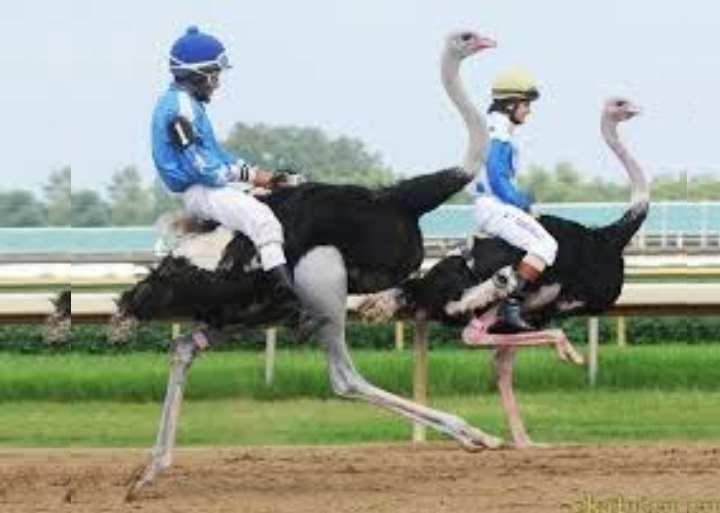 Перья страуса не имеют нервных окончаний