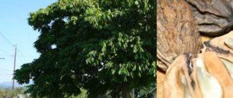 Маньчжурский орех активно и быстро растёт в первые 25 лет